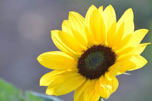 Flower, Sunflower, Plant, Nature, Yellow, Summer