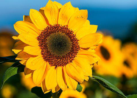 Sunflower, The Morning, Flower Garden, Sunny, The Sun