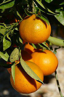 Orange, Zuidvrucht, Fruit, Citrus, Vitamins, Tree