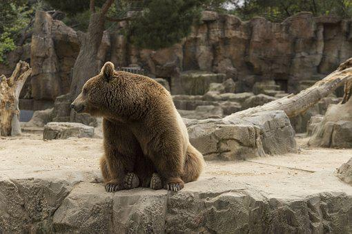 Bear, Waiting For Food In The Zoo, Madrid, Zoo