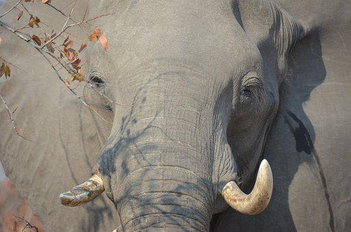 Elephant, Africa, Wildlife, Nature, Animal, Wilderness