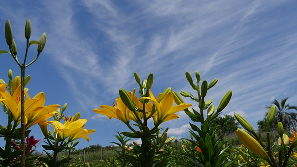 Yellow Lily, All, Lily And Sky