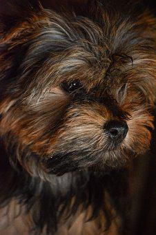 Yorkshire, Terrier, Small, Animal, Breed, Canine