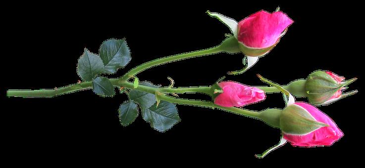 Flower, Stem, Rose, Buds Pink