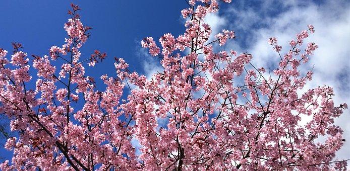 Cherry Blossom, Spring, Flowering, Garden