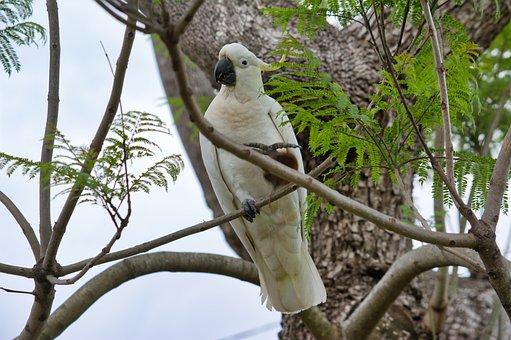 Parrot, Cockatoo, Sulfur-crest, Wildlife, Animal