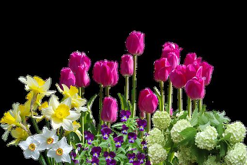Spring, Daffodils, Tulips, Spring Flowers, Hydrangeas