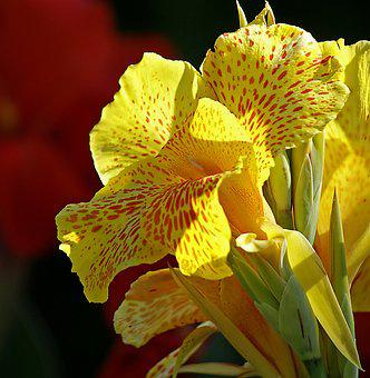 Kahn, Flower, Yellow Flower, Large Flowers, Cup