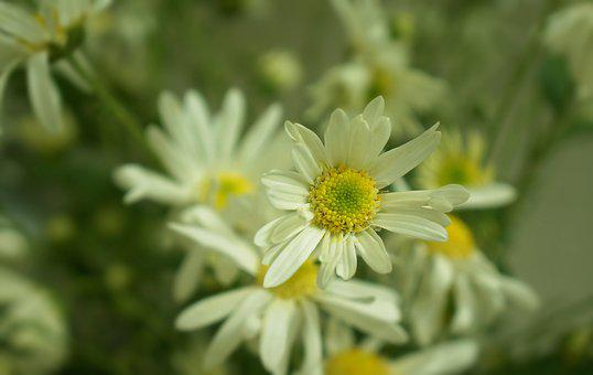 Daisy Robins, Flowering Season, Hanoi, White Daisies