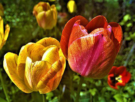 Tulips, Flowers, Garden, Colorful, Spring, Plant