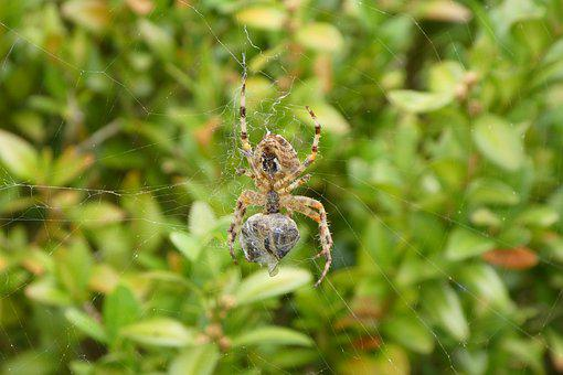 Spider, Network, Prey, Bee, Caught, Food