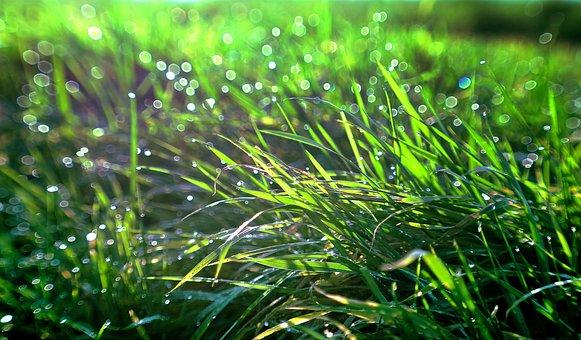 Grass, Rosa, Meadow, Green, Nature, Drops, Sunlight
