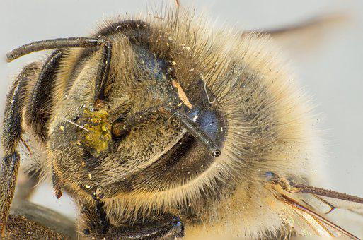 Bee, Wild Bee, Pollen, Hair, Insect, Compound Eyes