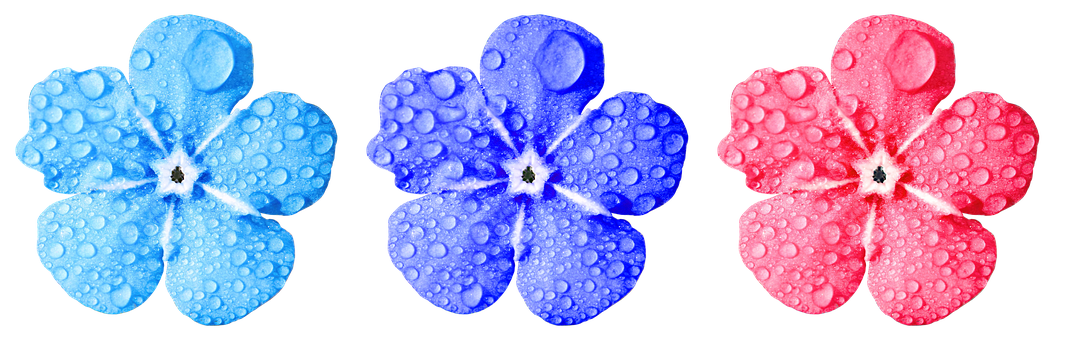 Flower, Forget Me Not, Close, Leaves, Drop Of Water