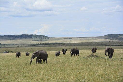 Savannah, Kenya, Africa, Safari, Mara, Elephants