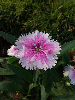 Flower, Pink, White, Nature, Spring, Pink Flowers