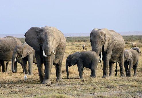 Elephants, Africa, Kenya, Safari, Amboseli, Herd