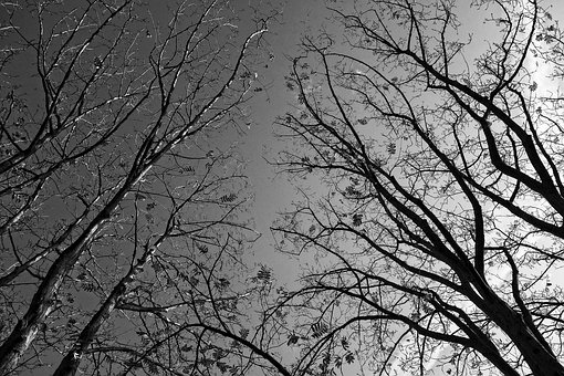 Trees, Tree Tops, Branches, Bare Branches, Silhouette