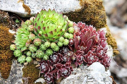 Stonecrop, Green Stonecrop, Red Stonecrop, Rock Garden