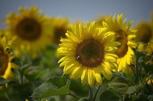 Sun Flower, Summer, Yellow, Sunflower, Color
