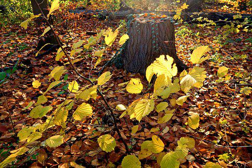 Forest, Tree Trunk, Leaves, Autumn Scene, Golden Glow