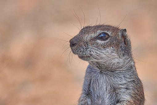 Gophers, Posing, Rodent, äuge, Head, Mammal