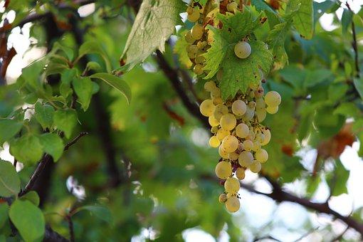 Grapes, Autumn, Health