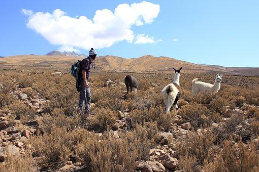 Lama, Bolivia, South America, Mountains, Hiking, Nature