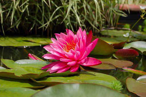 Lily Pad, Nature, Pink, Green, Pond, Flower, Botanical