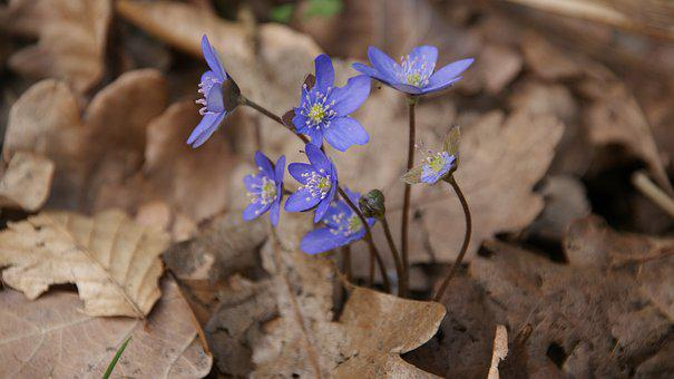 Blue Flowers, Leaves, Macro, Spring, Botanical, Leaf
