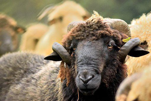 Sheep, Ram, Horns, Black Sheep, Pasture Land, Nature