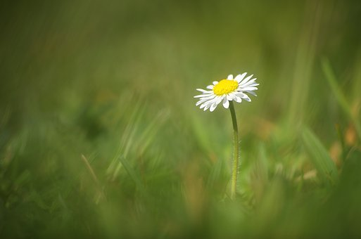 Daisy, Flower, White, Plant, Spring, Nature, Close