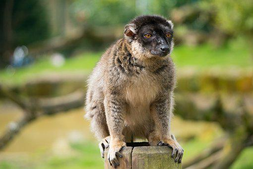 Red, Fronted, Lemur, Nature, Outdoors, Wildlife