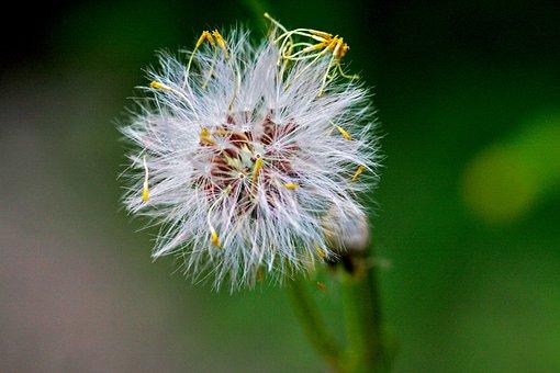 Weed, Australia, Plant, Nature, Flower, Flora, Bushland