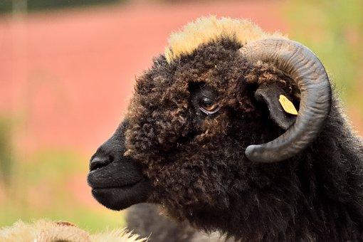 Sheep, Ram, Horns, Black Sheep, Pasture Land, Nature