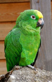 Parrot, Green, Green Birds, Colorful, Small Parrot