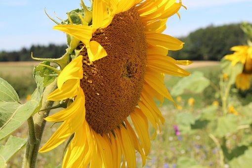 Sun Flower, Summer, Sunflower Field, Nature
