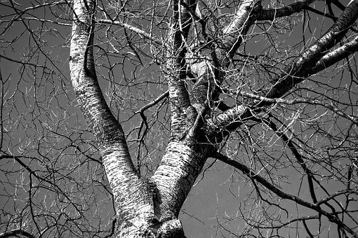 Birch Tree, Birch, Tree, Trunk, Branch, Bare Branch