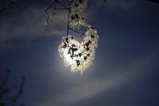 Clematis Vitalba, Back Light, Sun, Shine Through, Pods