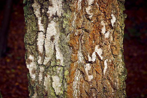 Tree, Bark, Nature, Log, Birch, Structure, Forest, Wood