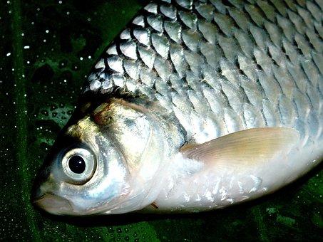 Fish, Carp, Meal, River, Pike, Masking, Carpio