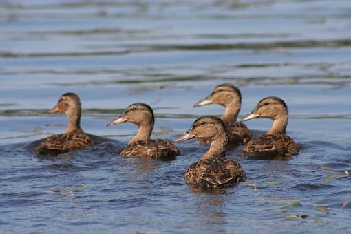 Duck, The Brood, Five Of The, Look, Water, Finnish