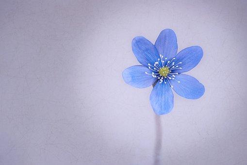 Hepatica, Flower, Blossom, Bloom, Blue, Spring Flower