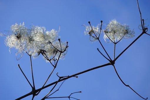 Clematis Vitalba, Pods, Branch, Filigree, Soft, Fluffy