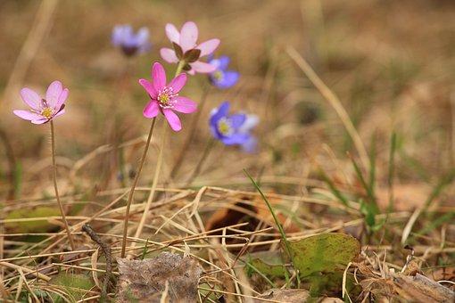 Red Anemone, Hepatica, Summer, Flower, Anemones