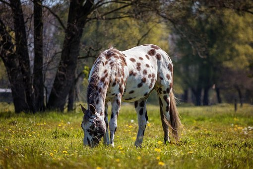 Horse, Appaloosa, Nature, Animal, White Horse, Meadow