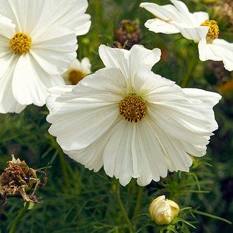 Cosmos, Flowers, Summer Flowers, Summer, Nature, Garden