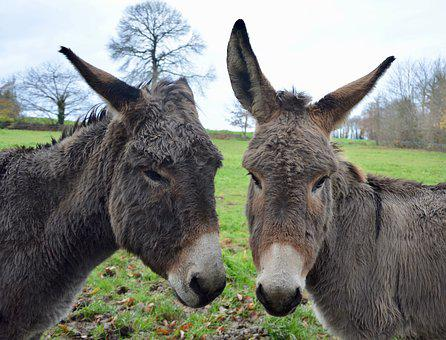 Donkeys, Heads Asses, Long Ears, Gray Donkey, Equines