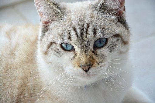 Cat, Young Cat, Feline, Blue Eyes, Cat Eyes, Female