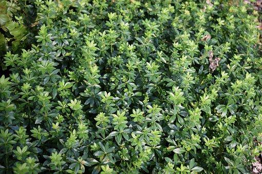 Lievevrouwebedstro, Ground Cover, Green